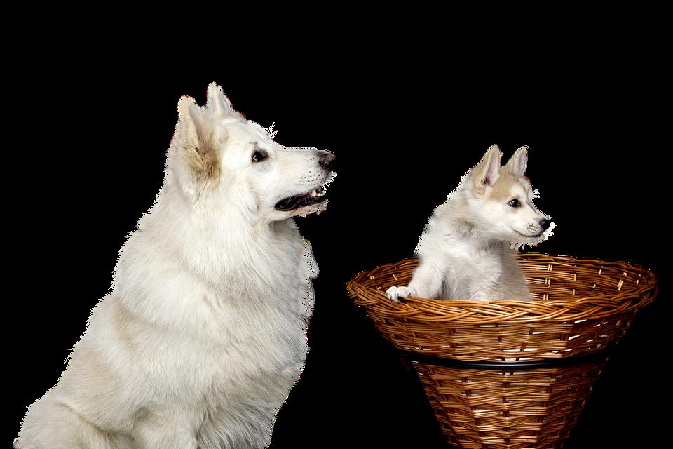Dog, Pet, Isolated, Animals Puppy Doggy, Mammal