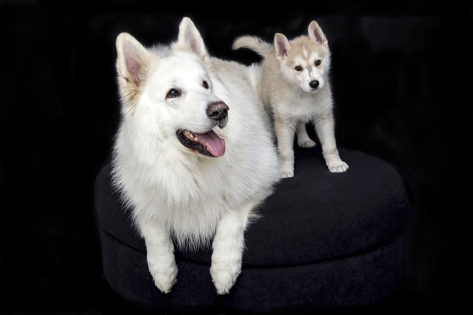 Cute, Sweet, Pet, Animals, Dogs, Puppy, Dog