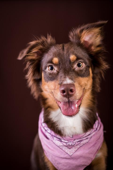 Australia, Dog, Studio, Attention, Pet, Fur, Race