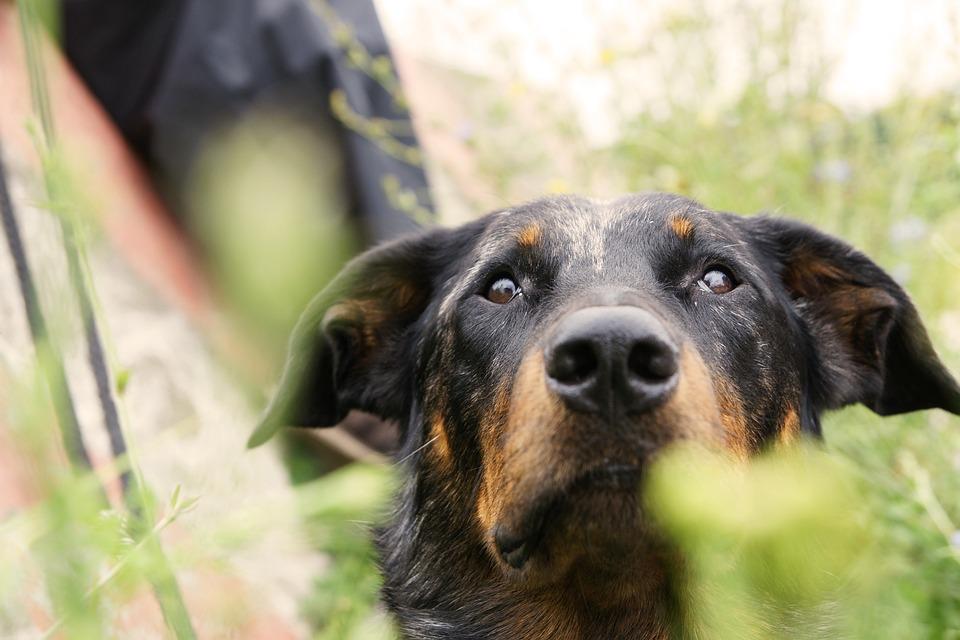 Dog, Beauceron, French Shepherd Dog, Schäfer Dog, Pet