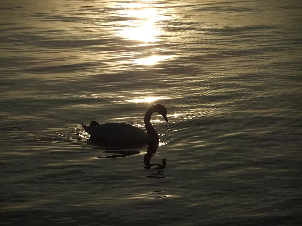 Swan, Pet, The Evening Sun, Bird, Nature, Sunset, Dawn