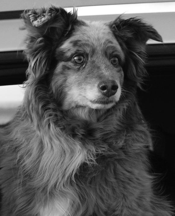 Dog, Black And White, Pet, Cute, Australian Shepherd