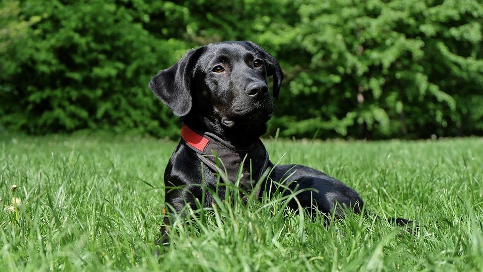 Dog, Black, Labrador, Black Dog, Hybrid, Nose, Pet