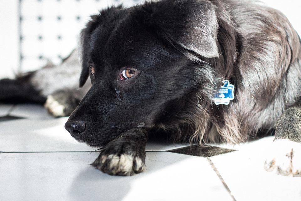 Dog, Black, Pet, Head, View, Puppy, Labrador, Snout