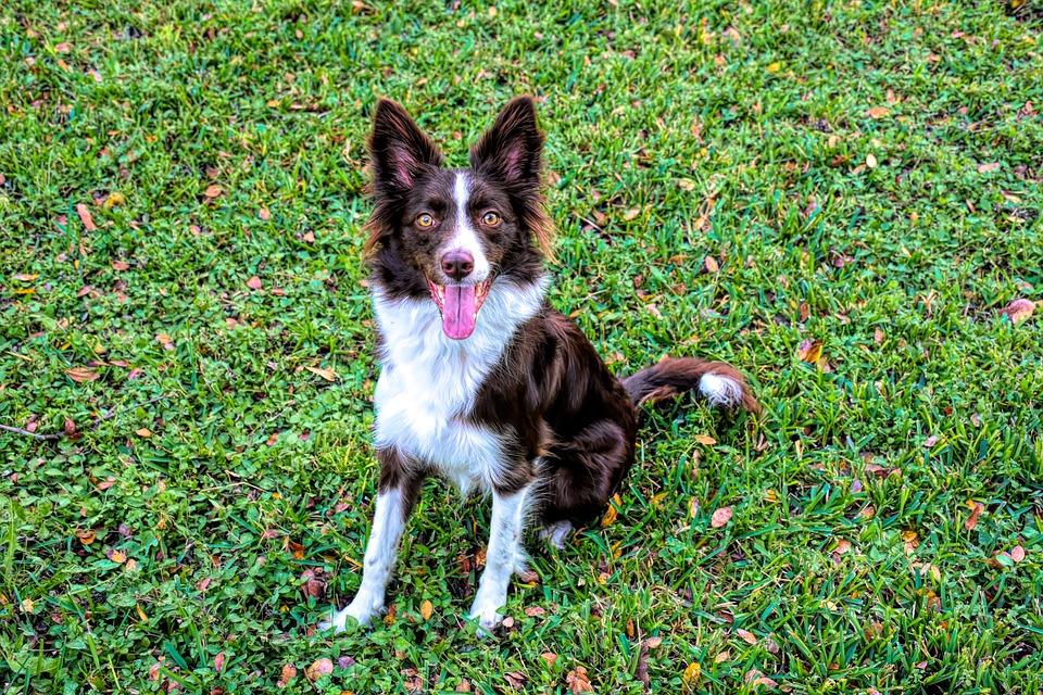 Border Collie, Dog, Pet, Collie, Portrait, Animal, Cute