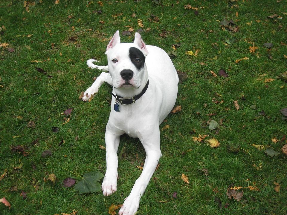 Dogo, Argentino, Animal, Pet, Cute, White, Canine