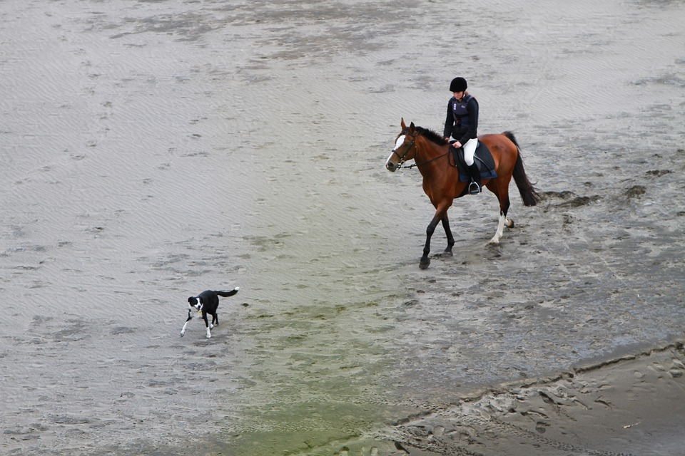 Rider, Beach, Horse, Border Collie, Canine, Dog, Pet