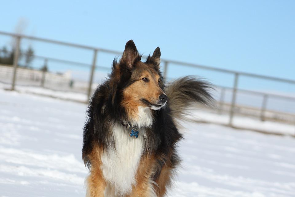 Dog, Collie, Pet, Cute, Animal, Dog In Snow, Canine