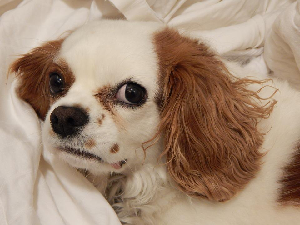 Dog, Puppy, Doggy, Pup, Canine, Pet, Purebred, Cavalier