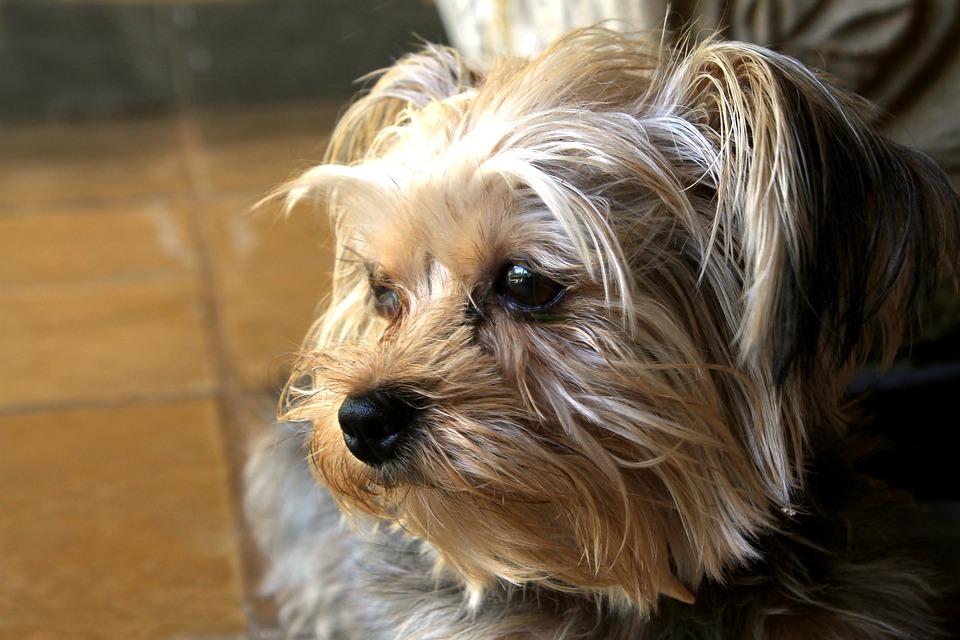 York Shire, Dog, Pet, Domestic Animals, Canine, Puppy