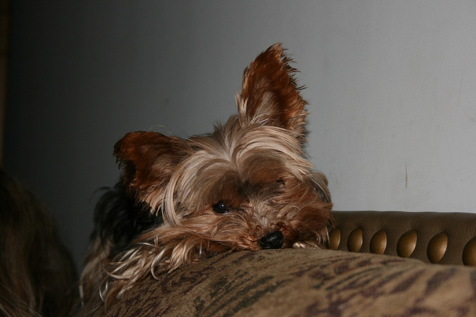 Yorkie, Terrier, Dog, Pet, Canine, Yorkshire Terrier
