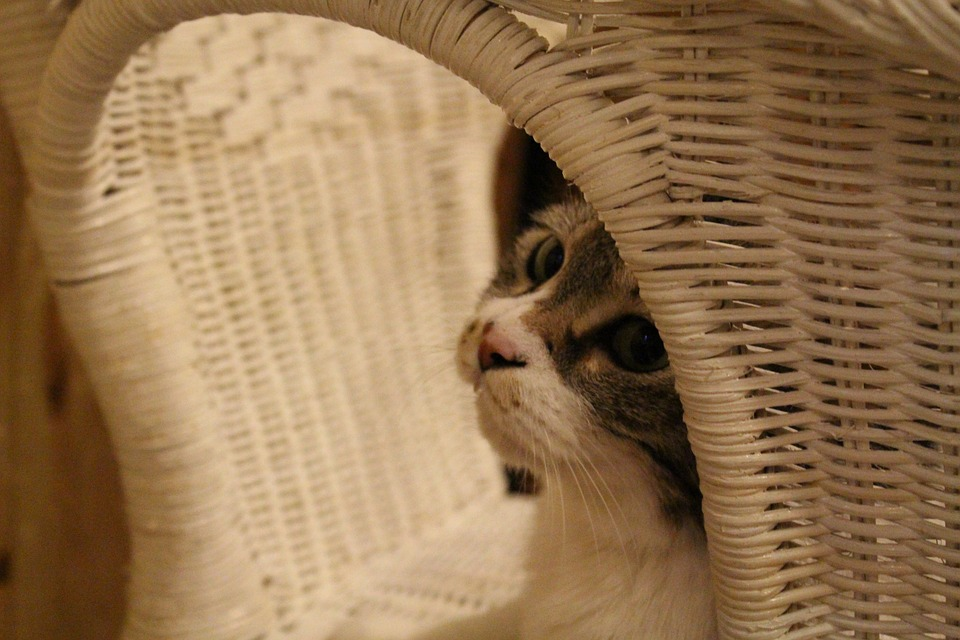 Cat, Brown, Cat Face, Home, Pet, Basket