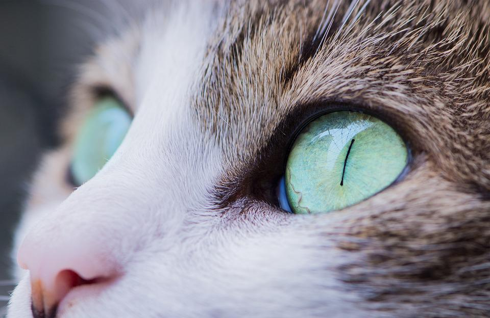 Animal, Cat, Close-up, Eyes, Feline, Pet