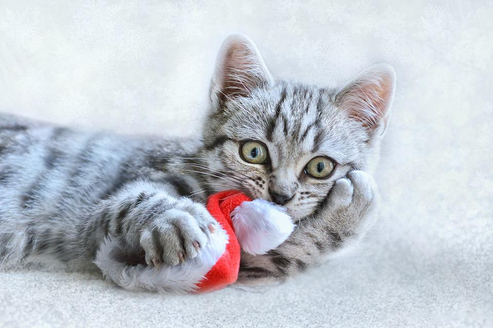 Cat, Christmas, Animal, Pet, Kitten, Funny, December
