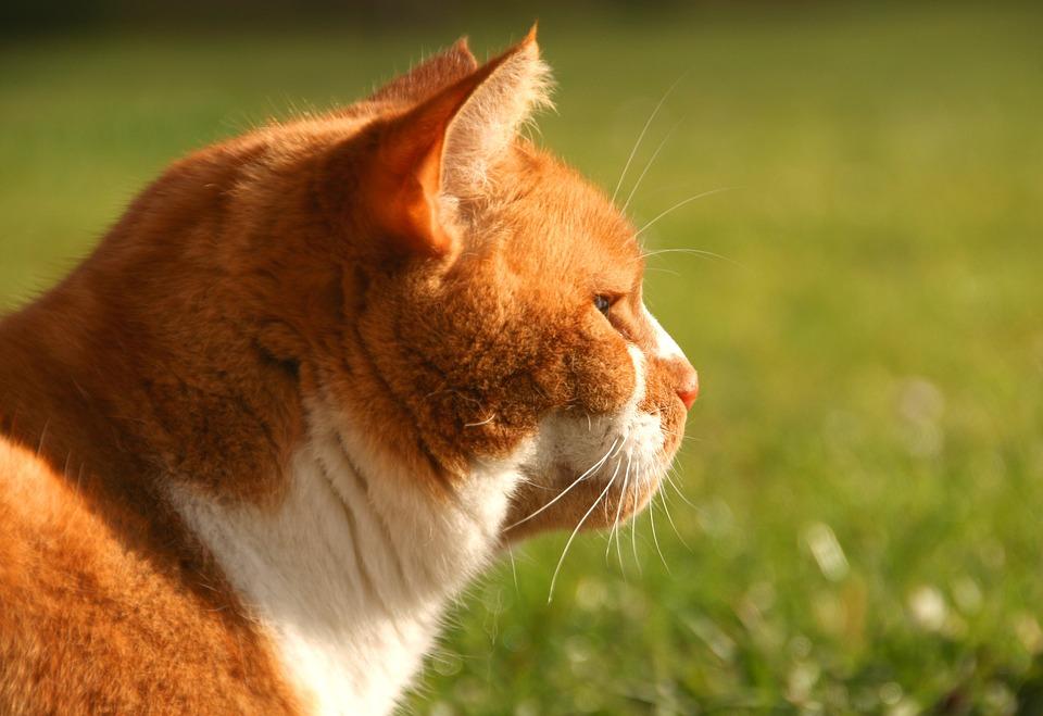 Cat, Pet, Animal, Domestic, Fur, Cute, Feline, Furry