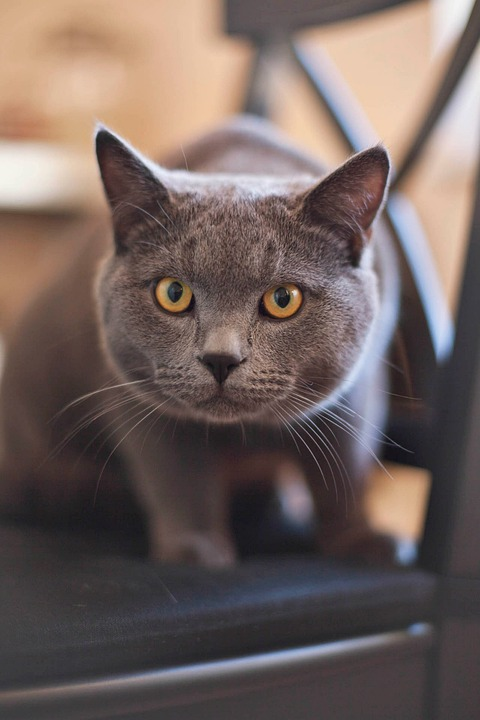 Cat, Kitty, Feline, Grey, Yellow, Eyes, Pet, Domestic