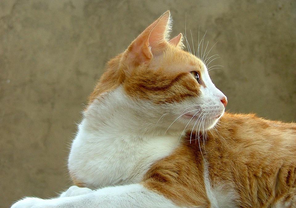 Cat, Animal, Feline, Pet, Cat Face, Cats Nose, Pets