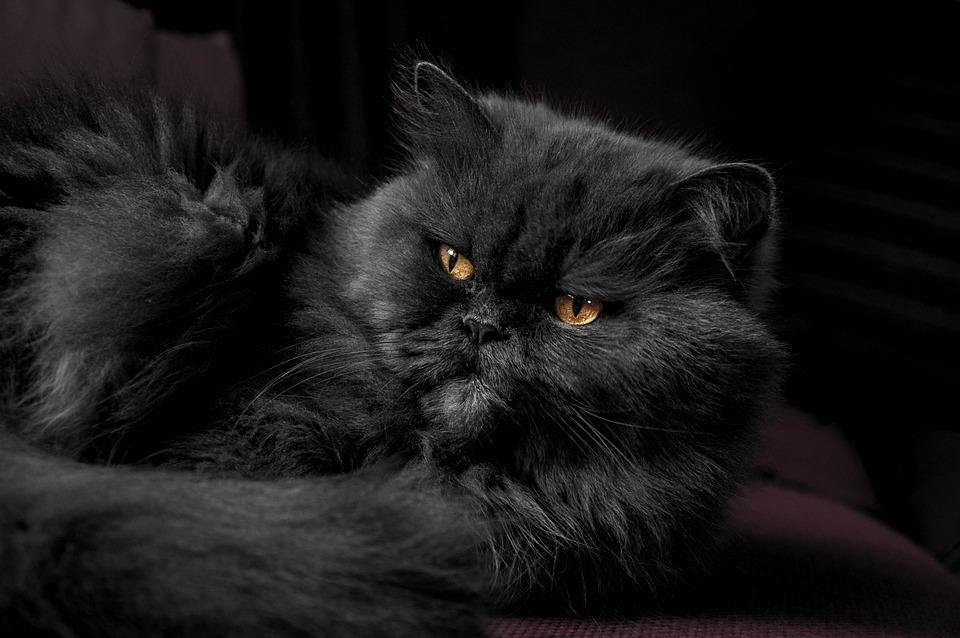 Animal, Cat, Cute, Feline, Furry, Pet