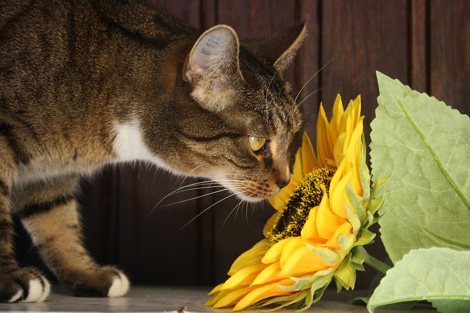 Cat, Sun Flower, Flower, Adidas, Domestic Cat, Pet
