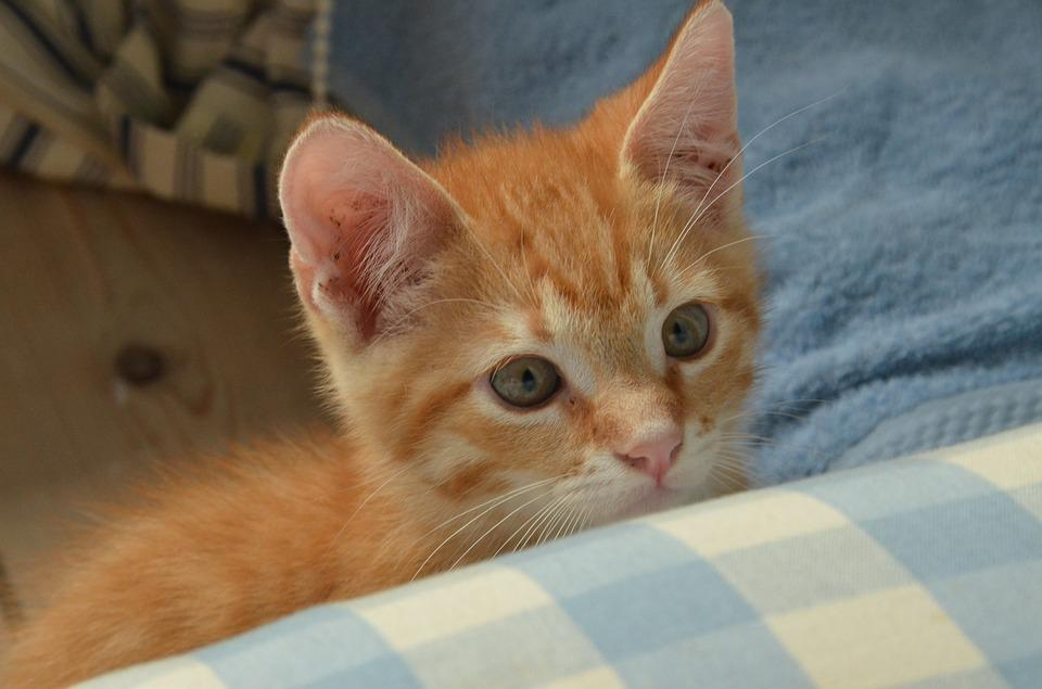 Cat, Kitten, Young, Pet, Care, Attention, Red