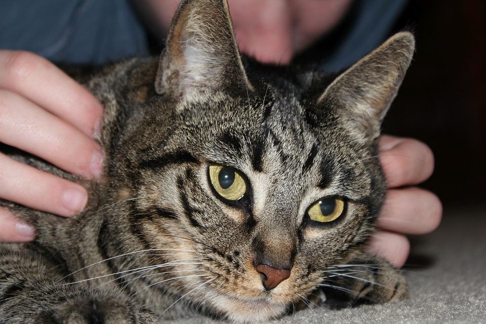 Cat, Pet, Animal, Domestic, Feline, Kitten, Kitty