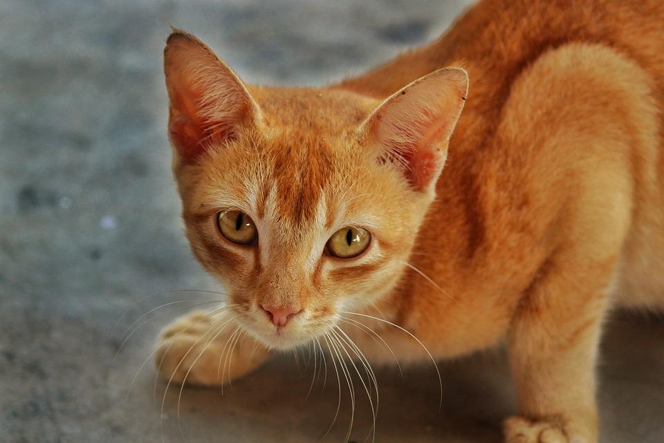 Cat, Domestic, Cute, Animal, Pet, Kitten, Mammal