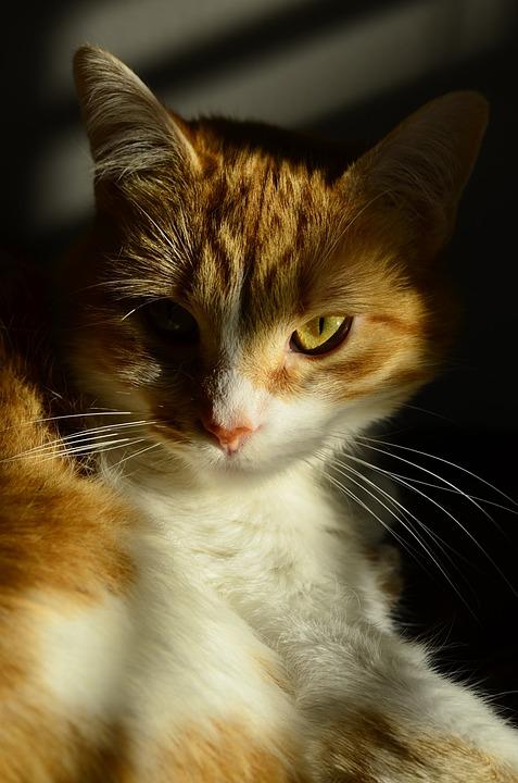 Cat, Orange, Pet, Feline, Portrait, Whisker, Eye, Kitty