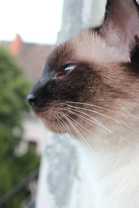 Siamese Cat, Cat, Pet, Thai Cat, Animal, Domestic Cat