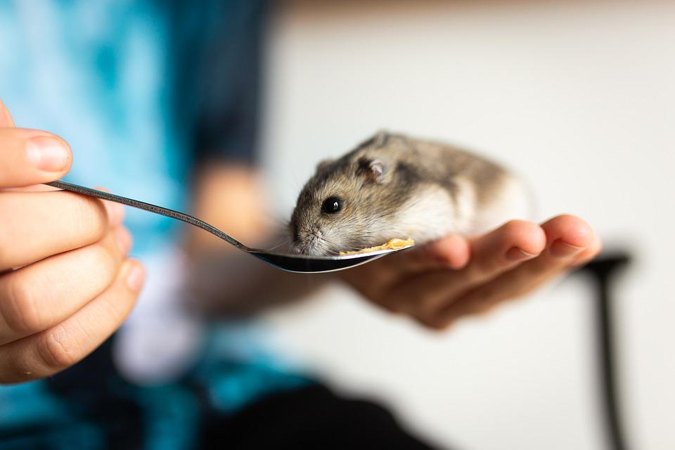Hamster, Pet, Mammal, Animal, Creature, Whiskers, Soft