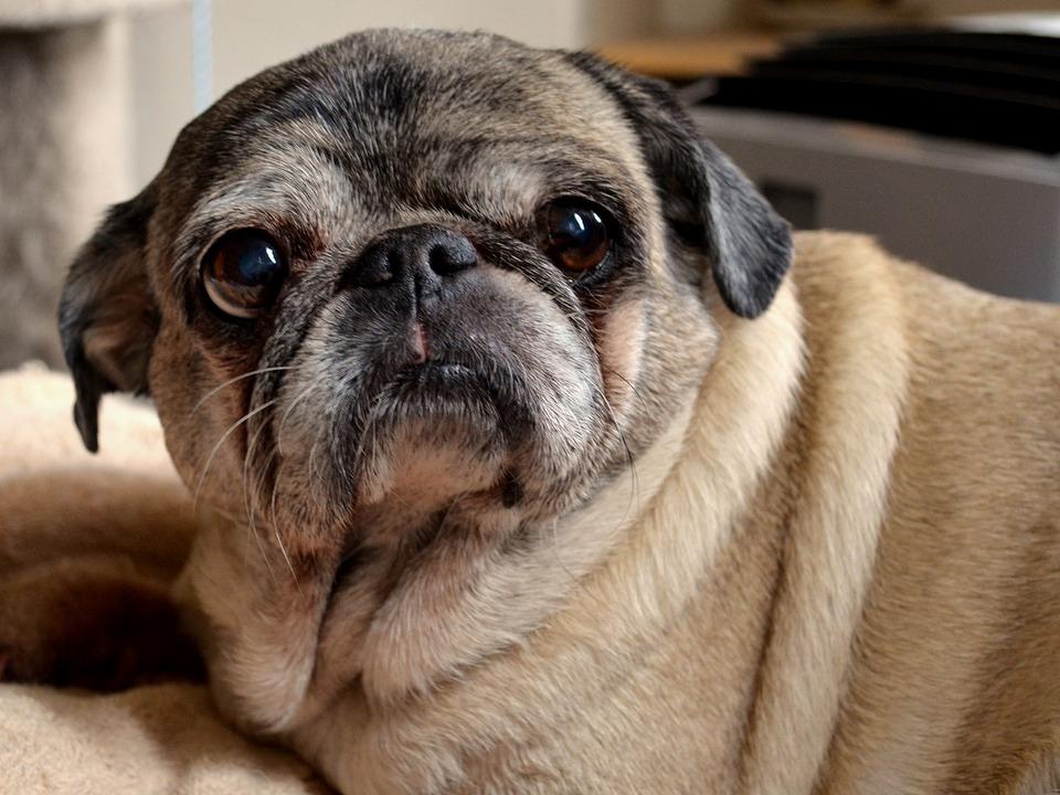 Must see Pug Canine Adorable Dog - Pet-Cute-Dog-Pug-Canine-Adorable-Breed-Animal-2347469  Snapshot_966056  .jpg