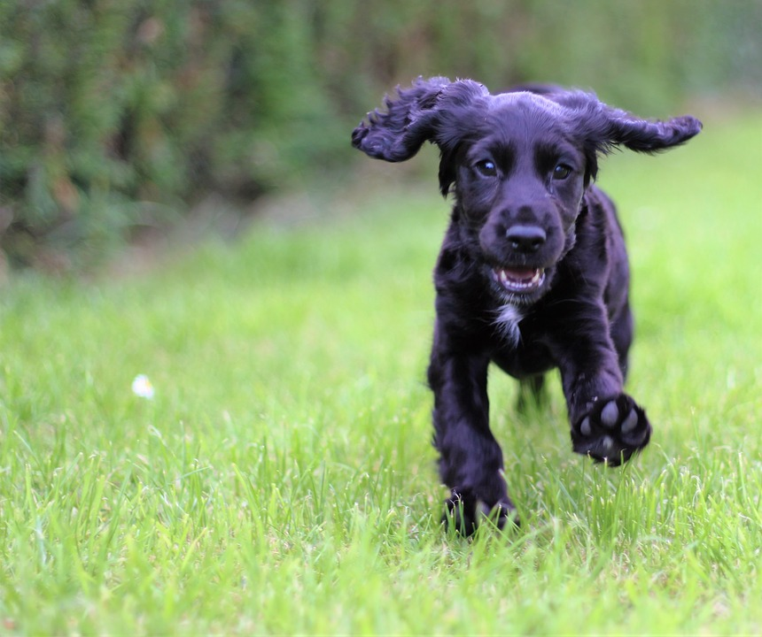 Good Cavalier Canine Adorable Dog - Pet-Cute-Dog-Spaniel-Canine-Cocker-Spaniel-Cocker-1591142  Snapshot_94650  .jpg