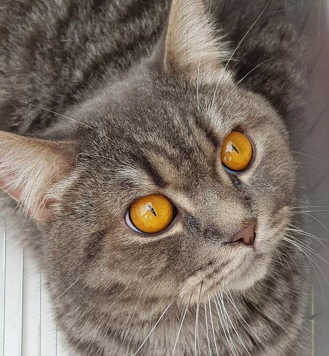Cat, Pet, Animal, Cute, Portrait