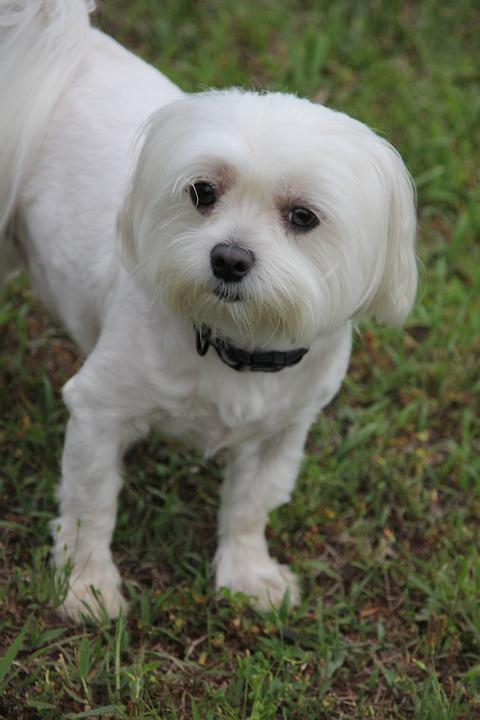 Dog, Fluffy, White, Pets, Adorable, Animal, Pet
