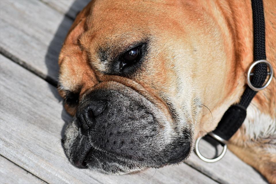Dog, Animal, Continental Bulldog, Pet, Animal Portrait