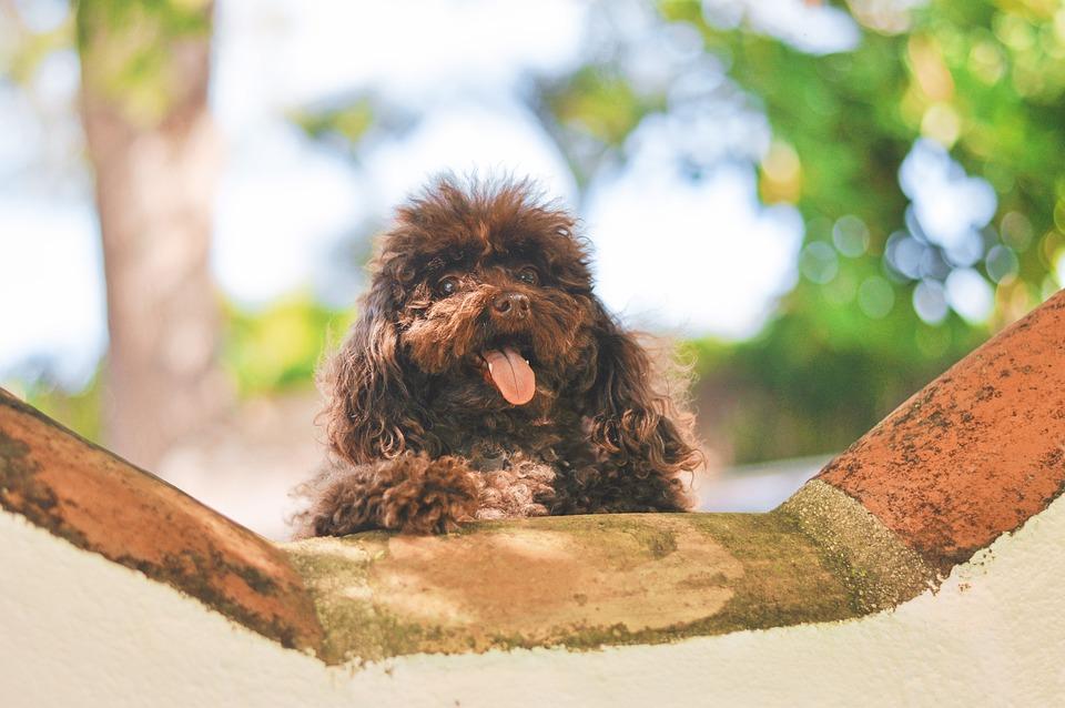 Dog, Puppy, Pet, Animal, Poodle, Tongue, Smile, Smiling