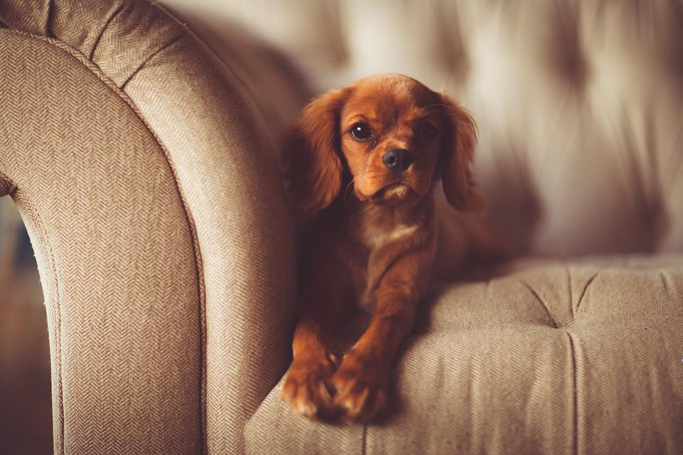 Dog, Couch, Brown Dog, Pet, Canine, Adorable, Animal
