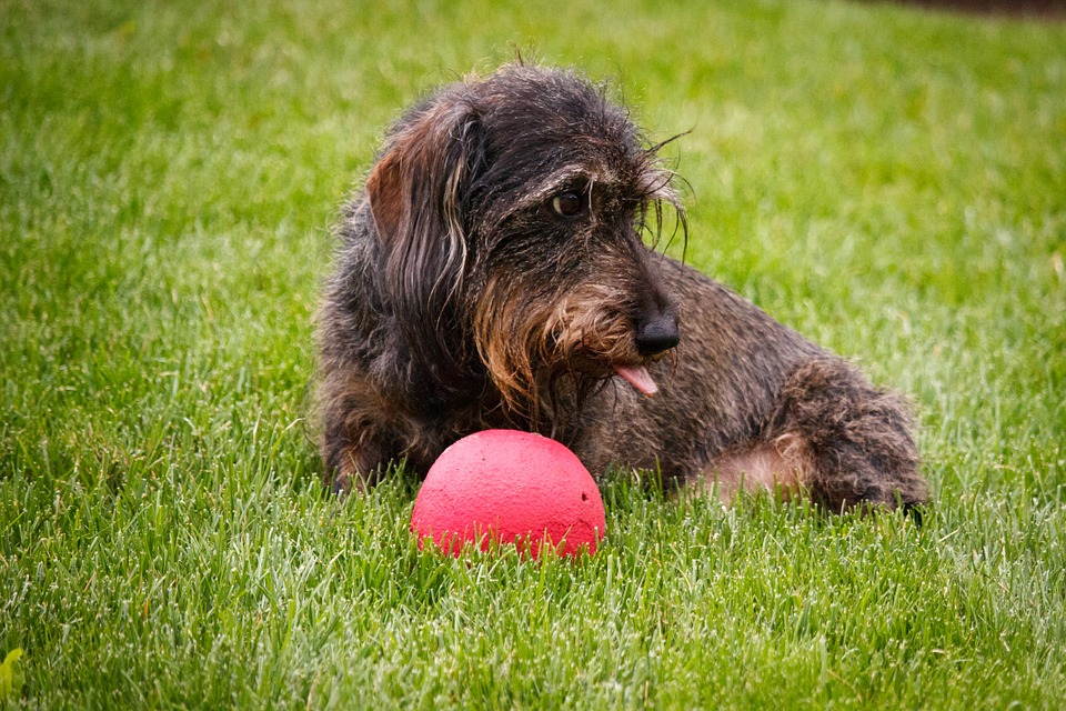 Dog, Dachshund, Ball, Pet