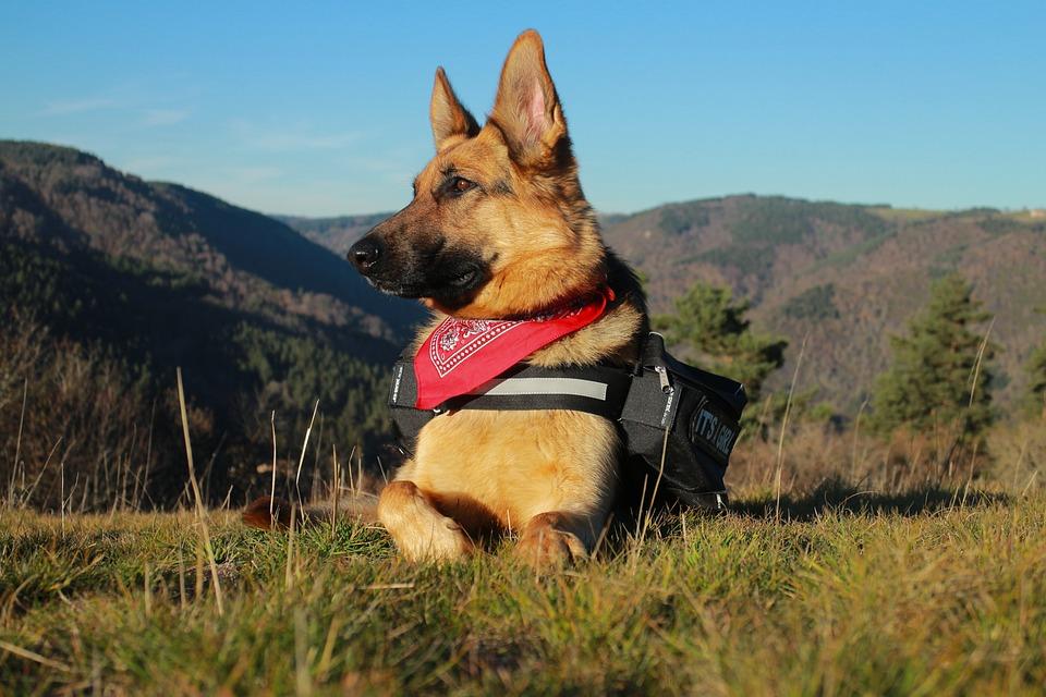 Berger, German, German Shepherd, Animals, Pet, Dog