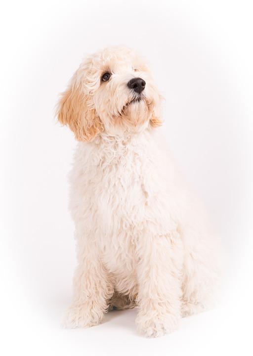 Dog, Labradoodel, Animals, Pet, Portrait, Adorable