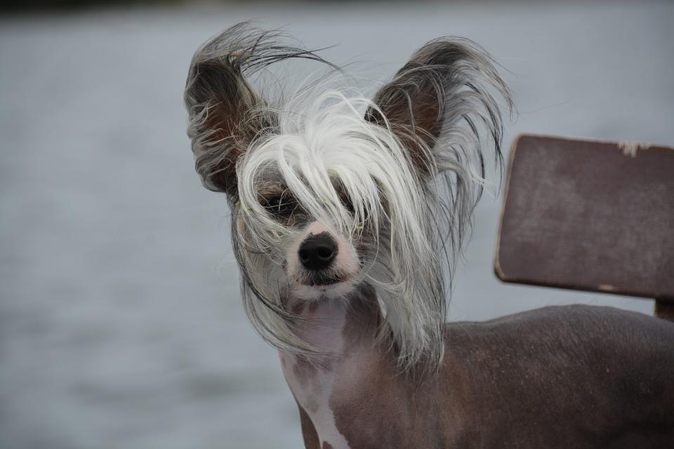 Dog, Chinese Crested, Naked Dog, Pet, Outside, Animal