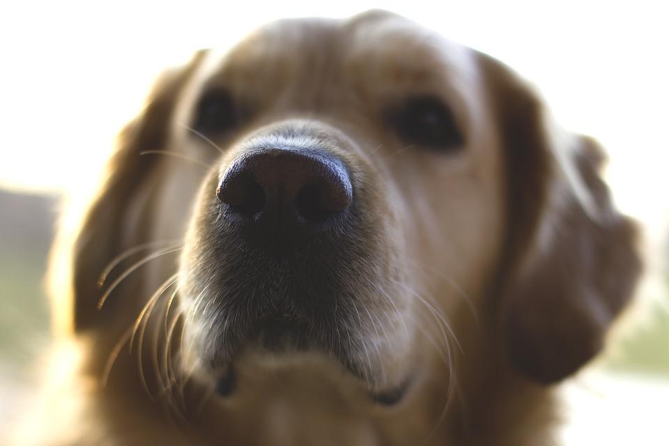 Free Photo Pet Dog Nose Golden Retriever Max Pixel