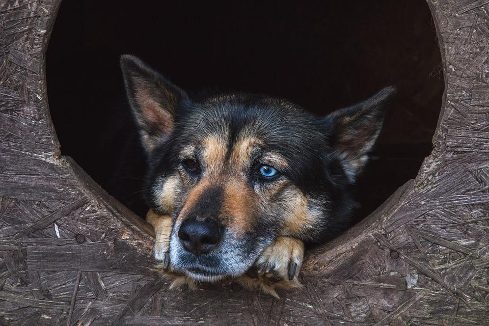 Dog, Animal, Friend, Looking, Blue Eye, Pet, Cute, Tube