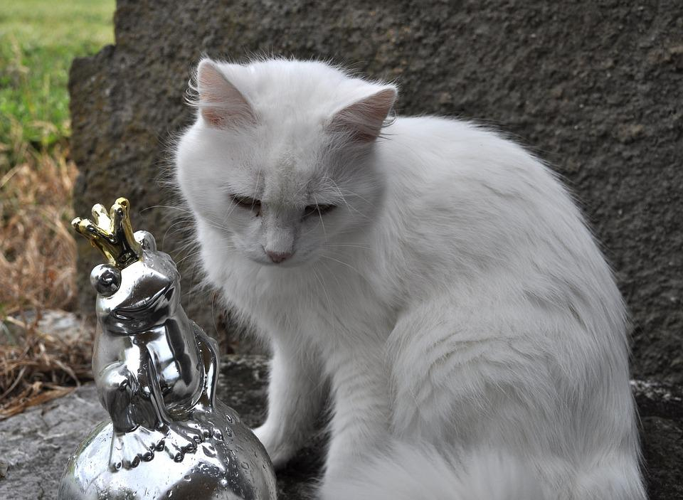 Cat, Pet, Animal, Domestic Cat, White Cat, Frog Prince