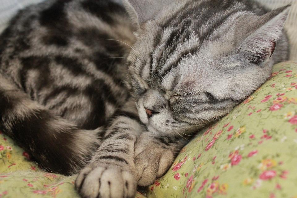 Cat, Sleeping, Pet, Sleep, Feline, Kitten, Domestic