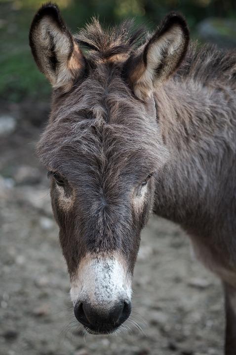 Donkey, Ass, Horse, Animal, Pet, Portrait