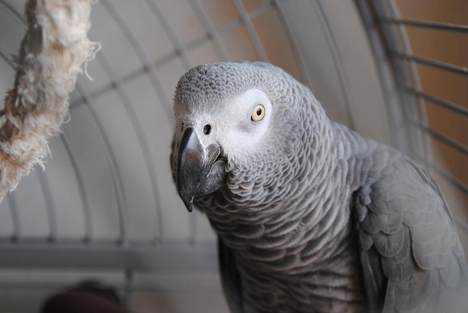 Parrot, Grey, Animal, Bird, Pet, Tropical, Exotic, Cute