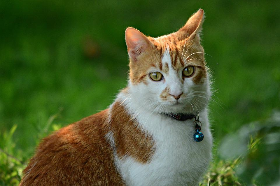 Cat, Ginger, Tabby, Animal, Mammal, Eye, Ear, Fur, Pet