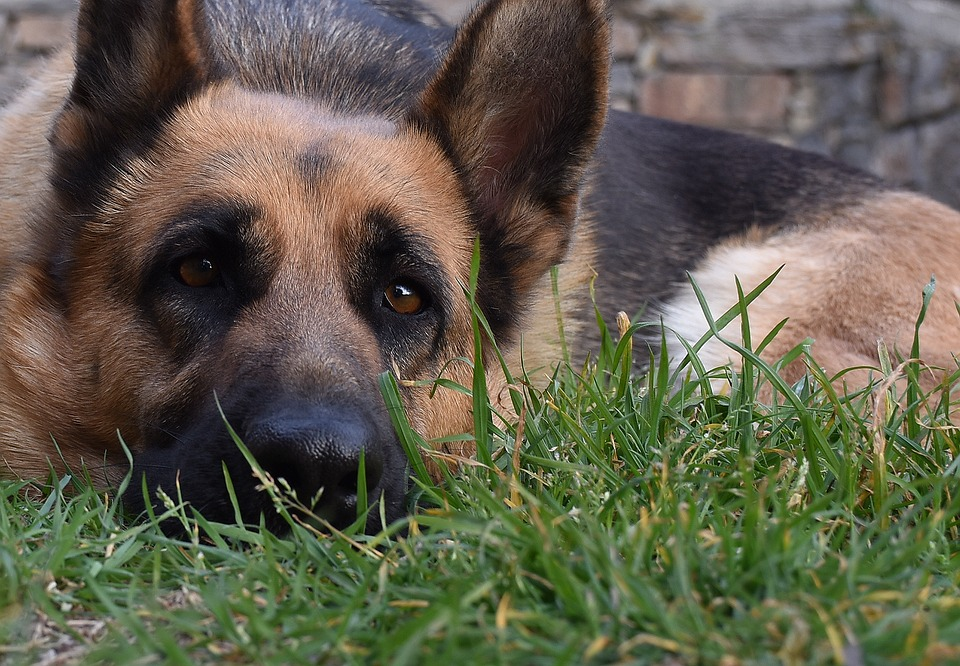 Dog, German Shepherd, Animal, Pet, Eyes