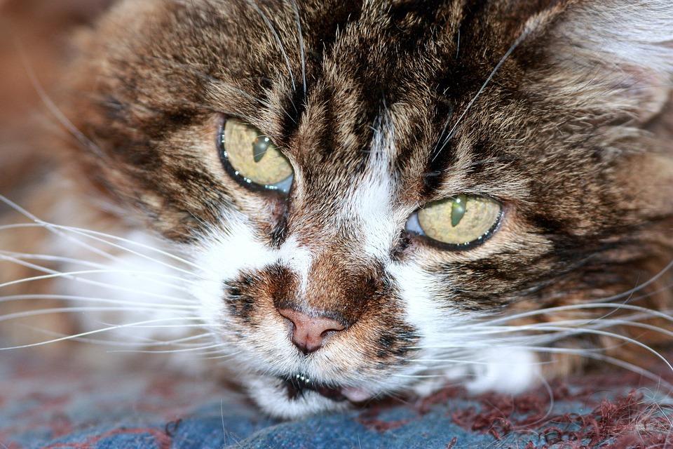 Cat, Feline, Domestic, Pet, Cute, Tabby, Eyes, Green