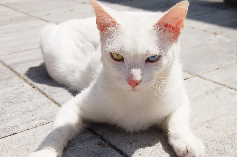 Cat, White, Heterochromia, Animal, Pet, Eyes, Green